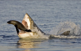 Great White Sharks primary Food Source
