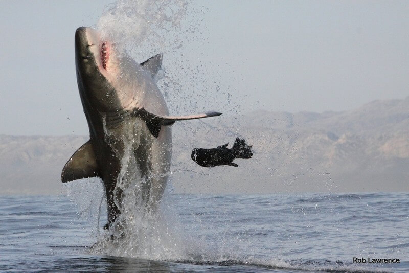 Breaching Great white shark taken by Rob Lawrence