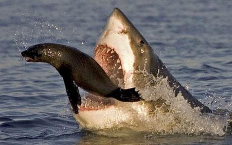 shark predation on a Cape Fur Seal