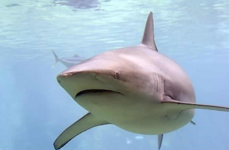 Bronze Whaler or Copper Shark
