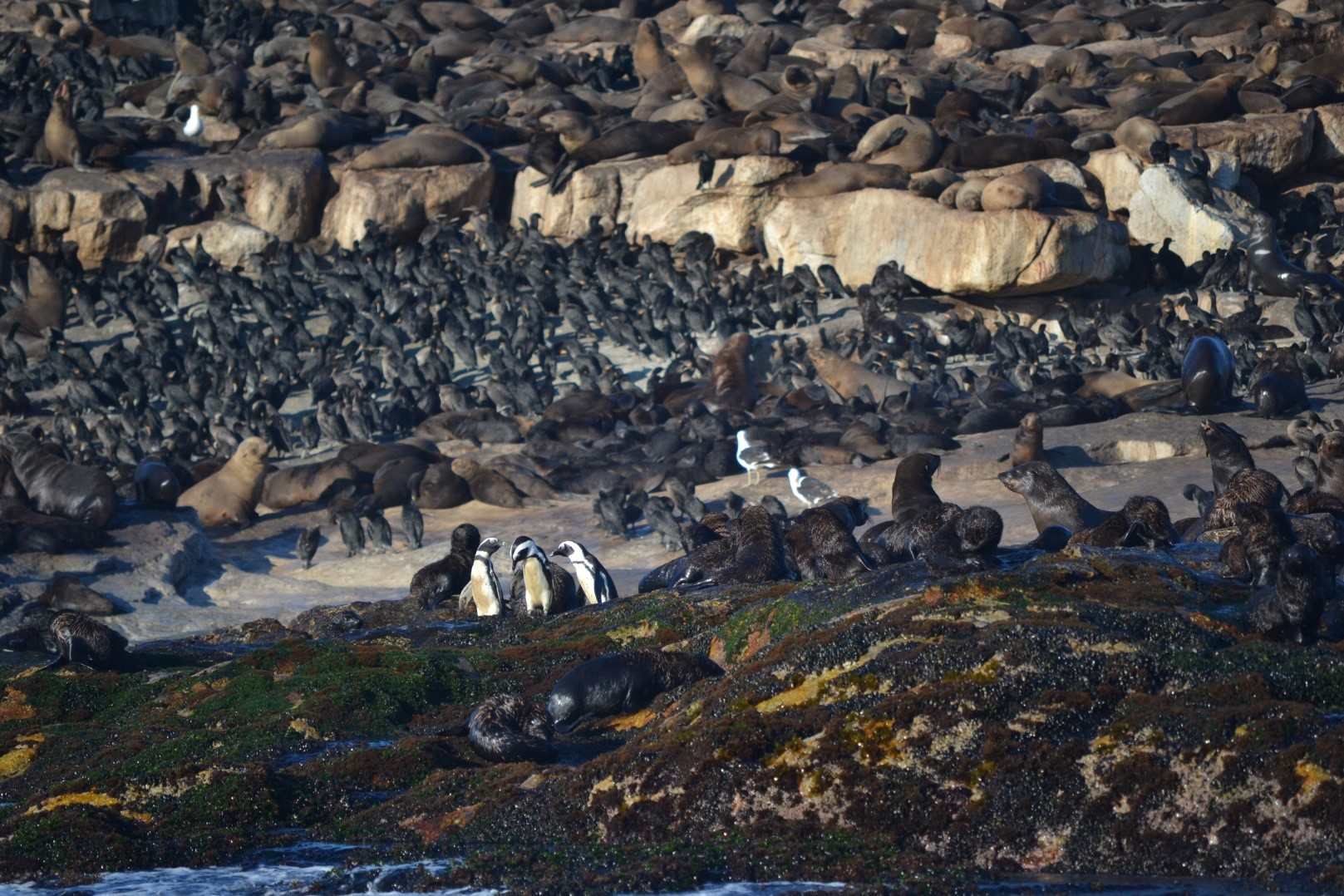 African Black Footed PEnguins on Seal Island
