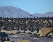 Cape Cormorants of False Bay