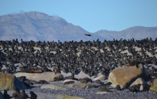 Cape Cormorants of False Bay