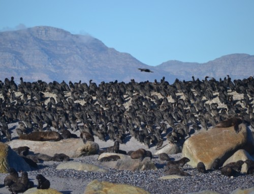 Birds of False Bay and Seal Island