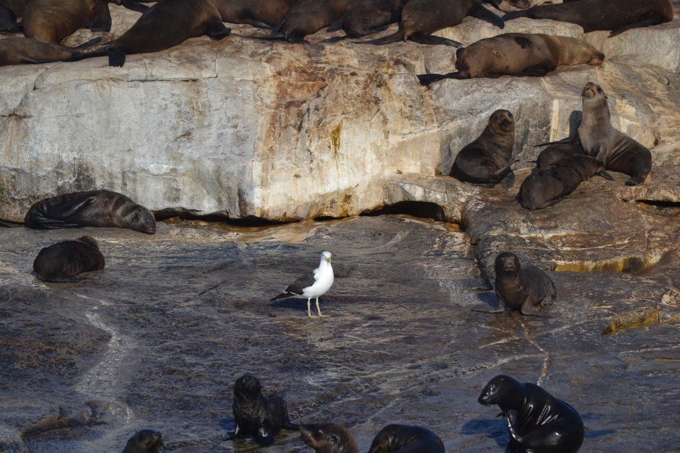 Kelp Gull on Seal Island