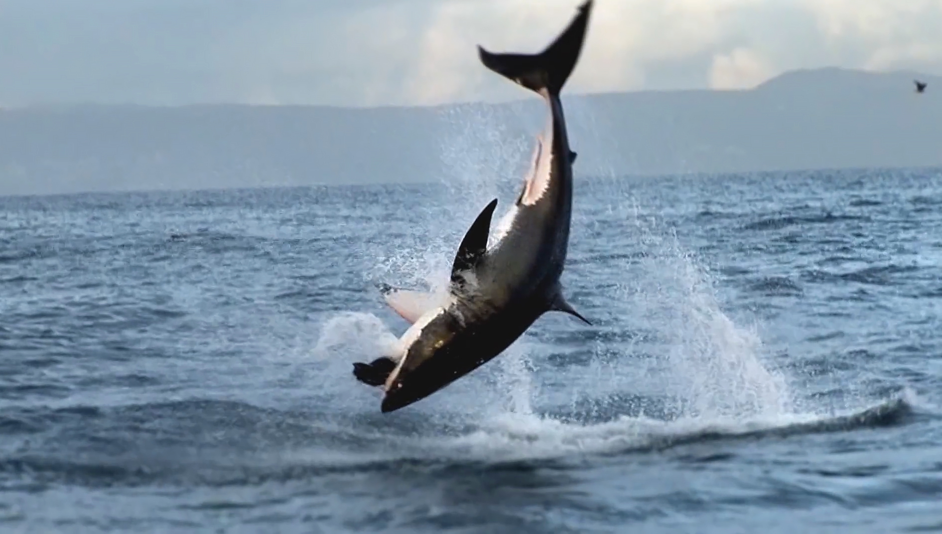 African Shark Eco-Charters Breaching videos