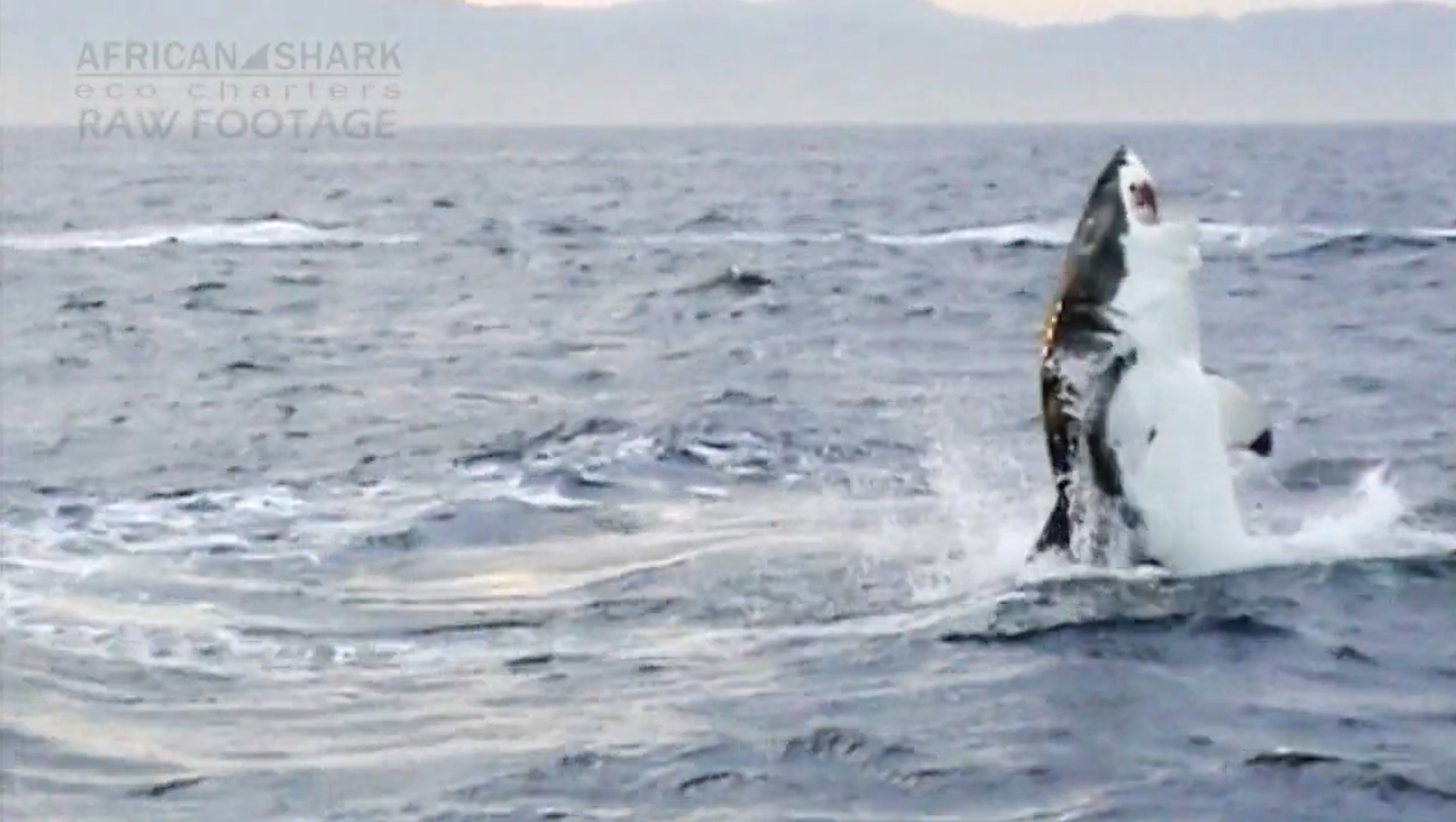 Vertical Shark Breach (Raw Footage) by Rob Lawrence