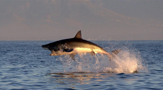 Great White Shark Breaching sequence